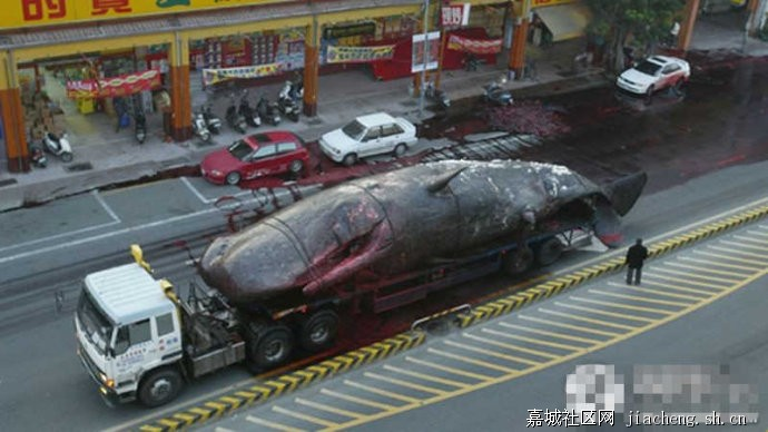 鲸鱼爆炸 鲸鱼爆炸视频 鲸鱼爆炸动态